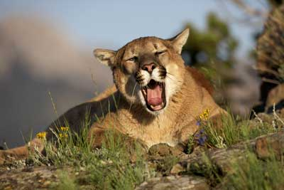 cougar laugh