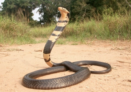 forest-cobra
