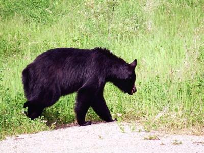 Go_Untamed_Winston_Wolfrider_Canada_Bear