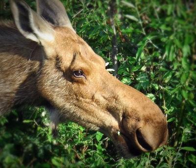 Go_Untamed_Winston_Wolfrider_Alaska_Denali_Moose