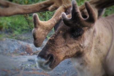 Go_Untamed_Winston_Wolfrider_Alaska_Denali_Caribu