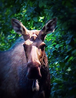 tumblr_ns Go_Untamed_Winston_Wolfrider_Alaska_Seward_Moose