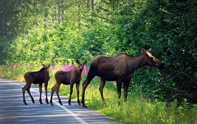 Go_Untamed_Winston_Wolfrider_Alaska_Seward_moose
