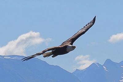 Go_Untamed_Winston_Wolfrider_Alaska_Bald_Eagle