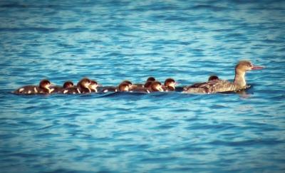 Ducks_ Go_Untamed_Winston_Wolfrider_Alaska_Wrangell_St_Elias