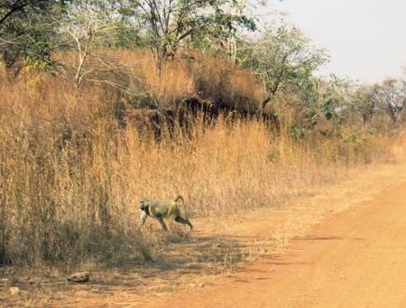 baboon-malawi