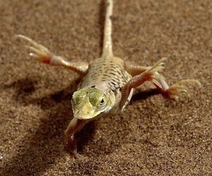 Namibia_lizard_Go_Untamed_winstonwolfrider