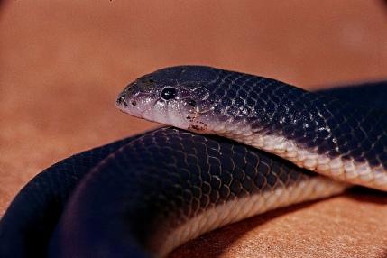 Go_Untamed_winstonwolfrider_Snake_Viper