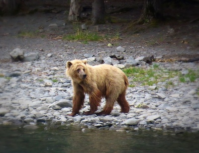 Go_Untamed_Winston_Wolfrider_Alaska_Bear_Homer_Kenai