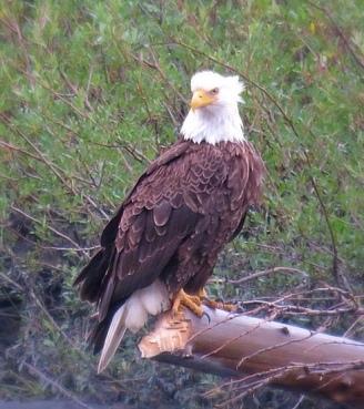 Go_Untamed_Winston_Wolfrider_Alaska_Eagle_Golden_Homer