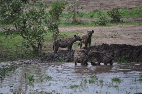Go_Untamed_Hyena_Water_Safari