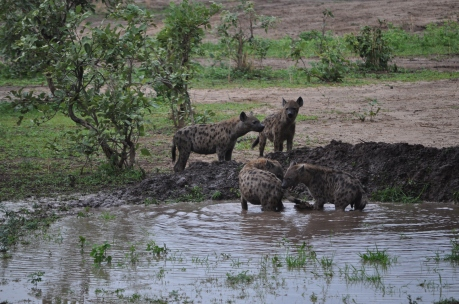 Go_Untamed_Hyena_Water_Safari
