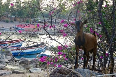 GoUntamed_Malawi_Chizamulu_Goat