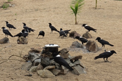 safari_go_untamed_Cooking_crows